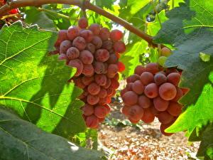 Hintergrundbilder Obst Weintraube Ast Blattwerk Lebensmittel