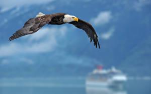 Fotos & Bilder Vögel Adler Flügel Flug Weißkopfseeadler Tiere fotos