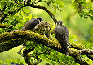 Fotos Vögel Falken Ast Laubmoose Tiere