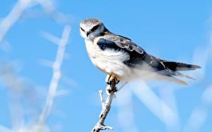 Bilder Vögel Habicht Ast ein Tier