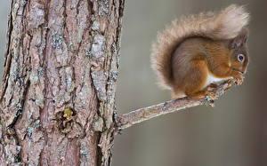 Fotos Nagetiere Eichhörnchen Ast Baumstamm Tiere
