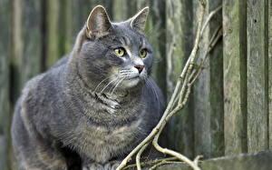 Bilder Hauskatze Blick Schnurrhaare Vibrisse Grau Tiere