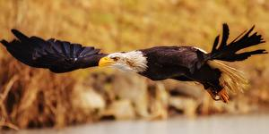 Fotos & Bilder Vögel Adler Weißkopfseeadler Flug Tiere fotos
