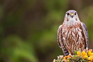 Hintergrundbilder Vogel Falken Blick