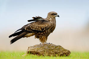 Bilder Vögel Falken Stein Tiere