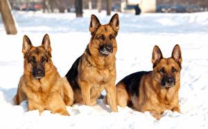 Bilder Hunde Shepherd Starren Schnee  Tiere