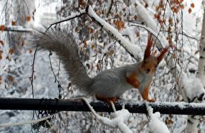 Bilder Nagetiere Eichhörnchen Jahreszeiten Winter Schnee Ast Schwanz Tiere
