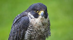 Fotos Vogel Falken Blick Schnabel