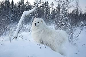 Pictures Dogs Seasons Winter White Snow Fluffy Samoyed dog Animals Nature