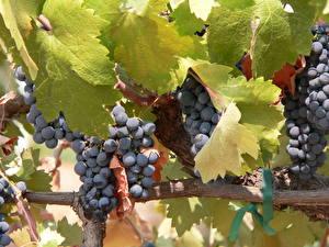 Bilder Obst Weintraube Ast Blattwerk Lebensmittel