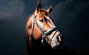 Bureaubladachtergronden Paard Hoofd Kijkt een dier