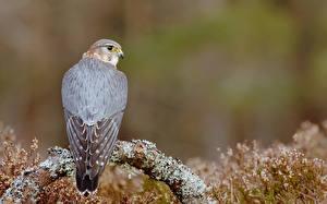 Bilder Vögel Falken