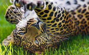 Bilder Leopard Groe Katze Augen Grinsen Schnauze Tiere 640x480