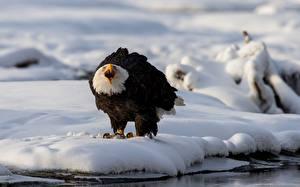 Fotos & Bilder Vögel Adler Weißkopfseeadler Schnee Tiere fotos
