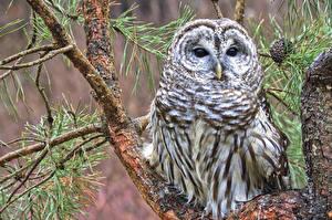 Hintergrundbilder Vögel Eulen Streifenkauz Ast Starren Tiere