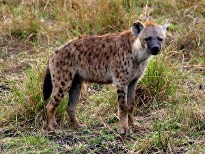 Bilder Hyänen