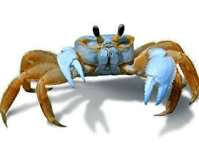 Hintergrundbilder Gliederfüßer Krabben - Tiere Weißer hintergrund